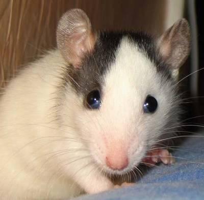 rat au oreilles standard